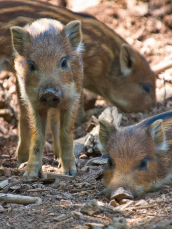 Couple of young wild boar (Sus scrofa) looking in the camera photo