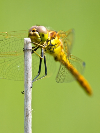 twing: Vagrant Darter Dragonfly (Sympetrum vulgatum) resting on a Twing with Bright Green Background Stock Photo