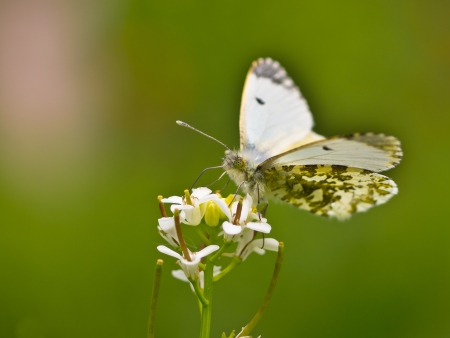Beautiful Female Orange Tip Butterfly (Anthocharis cardamines) - Feeding on Flowers photo