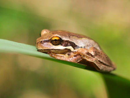 arboreal frog: Brown tree Frog (Litoria ewingii) balancing on a leaf in Australian nature Stock Photo