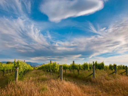 new horizons: Dramatic Sky Above an Organic Vineyard in Marlborough area New Zealand Stock Photo