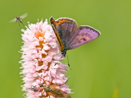 lycaeninae: Violet Copper Butterfly (Lycaena helle) resting on snakeweed