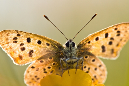 virgaureae: Sun Shines through Wings of Sooty Copper Butterfly (Lycaena tityrus) Basking in the Sun