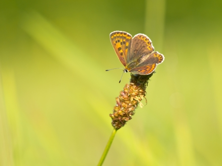 Sooty Copper Butterfly (Lycaena tityrus) in a field of grass photo