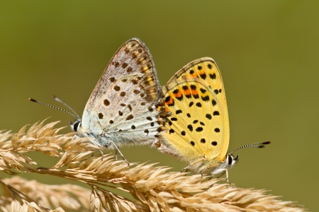 lycaena: Mating Pair of Sooty Copper Butterfly (Lycaena tityrus)