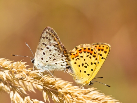 Mating Pair of Sooty Copper Butterfly (Lycaena tityrus) photo