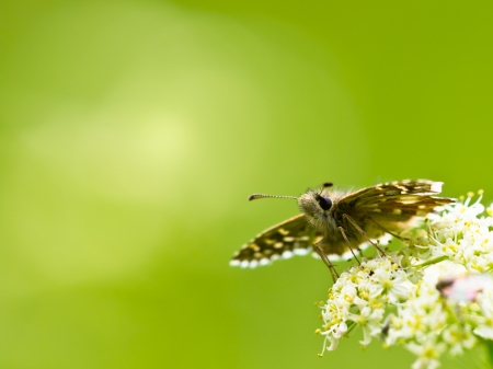 grizzled: Beautiful Wild Grizzled Skipper Butterfly (Pyrgus malvae) - Feeding on Flowers Stock Photo