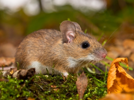 necked: yellow necked mouse on forest floor Stock Photo