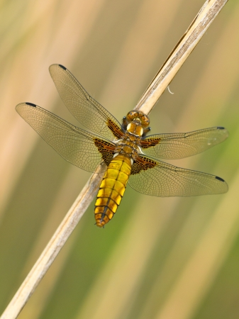 libellula: Beautiful Wild Broad-bodied Chaser Dragonfly (Libellula depressa)