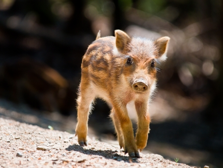 Young Wild Boar  Sus scrofa  is walking in the sun photo