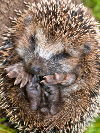 hibernate: West European Hedgehog (Erinaceus, europaeus) Preparing for Hibernation Stock Photo