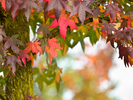 Vibrant Colored Autumn Leaves on the Branches of a Tree with Shallow Depth of Field photo