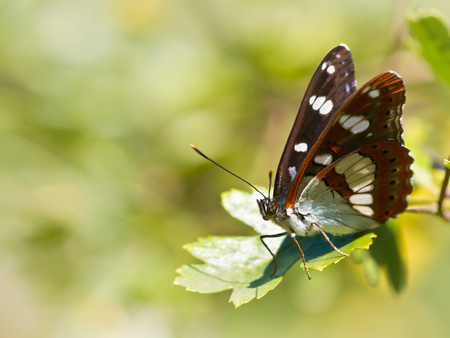 Beautiful Wild Southern White Admiral Butterfly (Limenitis reducta) - Feeding on Flowers