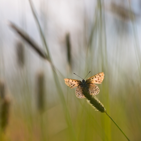 virgaureae: Sun Shines through Wings of Sooty Copper Butterfly (Lycaena tityrus) in a Field of Grass Stock Photo