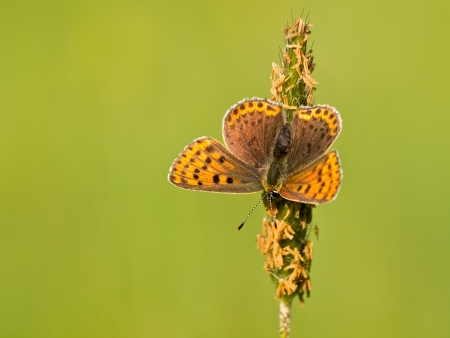 sooty: Sooty Copper Butterfly (Lycaena tityrus) Basking in the Sun
