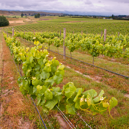 Vine leaves in an Organic Marlborough Vineyard in New Zealand photo