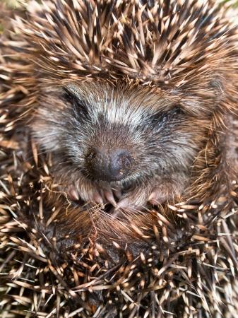 West European Hedgehog (Erinaceus, europaeus) Preparing for Hibernation Stock Photo - 22512680