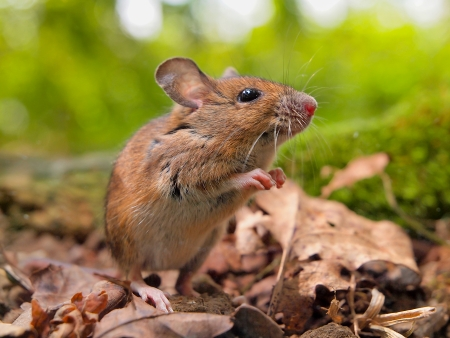 Field Mouse (Apodemus sylvaticus) on the Forest Floor in it's Natural Habitat 免版税图像