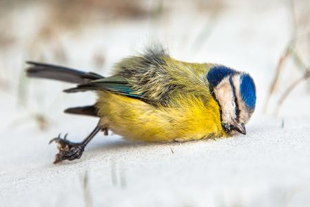 caeruleus: Dead Bird (Parus caeruleus) V�ctima de invierno en la nieve Foto de archivo