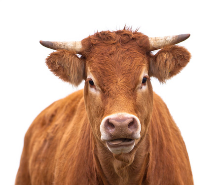 Portrait of a Cow Grown for Organic Meat on a White Background Banco de Imagens