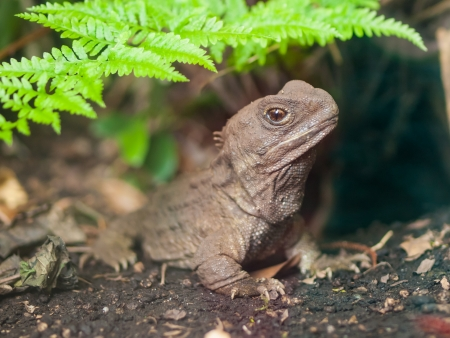 Tuatara, also called living fossil, is a native reptile in new zealand photo