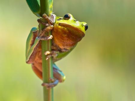 arboreal frog: Rana de �rbol europea (Hyla arborea) que sube en una ramita de Reed en su h�bitat natural