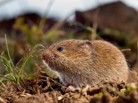 vole: Veldmuis (Microtus arvalis) in zijn natuurlijke Landelijke Open Habitat