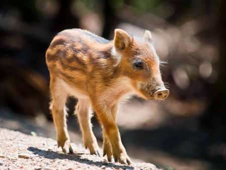 Young Wild Boar (Sus scrofa) is walking in the sun photo