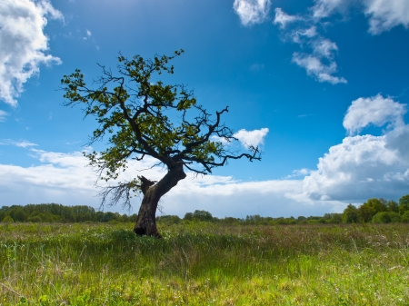 Lonely tree in a field under a summer sky