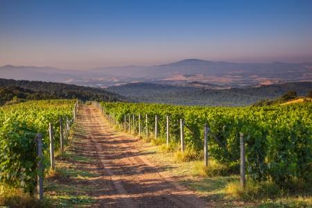 chianti: Chianti Vineyard in the Tuscan Hills on a Summer Morning