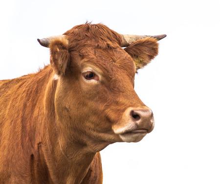 Porträt einer Kuh für Bio-Fleisch gewachsen auf einem weißen Hintergrund Standard-Bild - 25227596