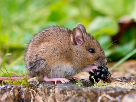 Wild Wood Mouse Eating Blackberry 版權商用圖片
