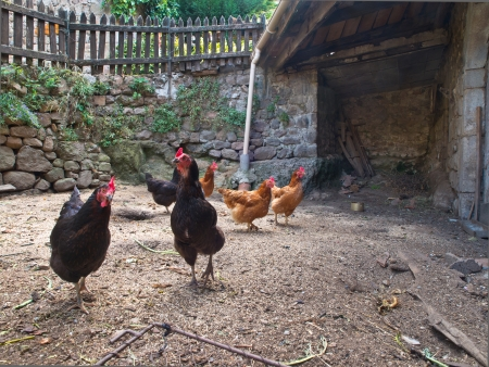 coop: Group of chicken in an old hen house on the countryside of France