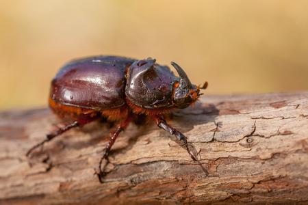 oryctes: European Rhinoceros Beetle (Oryctes nasicornis) in Natural Habitat