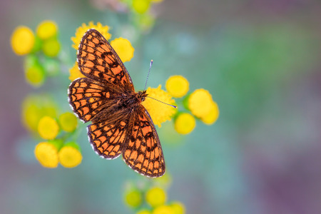 nymphalidae: The Heath Fritillary (Melitaea athalia) is a butterfly of the Nymphalidae family, found throughout Europe to Japan
