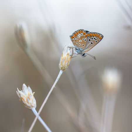 lycaenidae: The Brown Argus (Aricia agestis) is a butterfly in the family Lycaenidae (Blues). Stock Photo