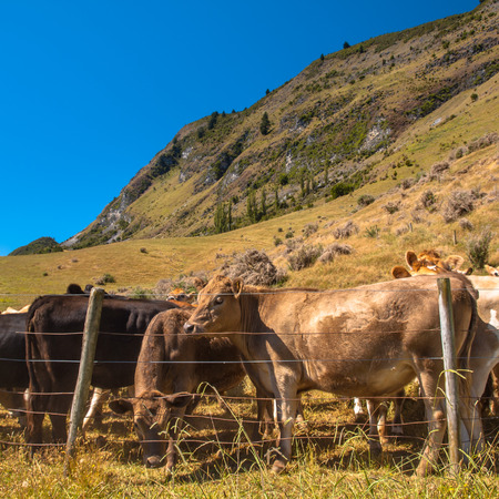 Cows in the Field in Mountain Area photo