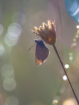 Common Blue Butterfly (Polyommatus icarus) in Back Lit Morning Sun with Lens Flare from Dew Drops of Water photo