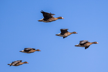 Migratory Geese setting in for Landing
