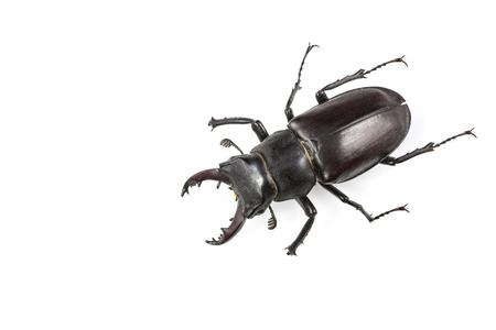 Stag Beetle (Lucanus cervus) Isolated on White Background