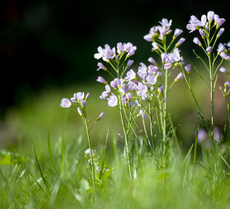 Cuckoo flower (Cardamine pratensis) in a meadow
