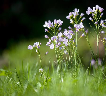 cuckoo: Cuckoo flower (Cardamine pratensis) in a meadow