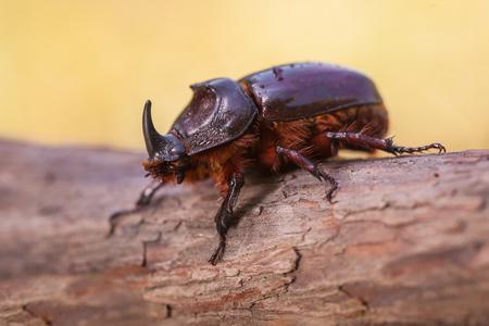 oryctes: European Rhinoceros Beetle (Oryctes nasicornis) With Beautiful Background