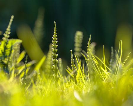 awkward: Field horsetail (Equisetum arvense) can be an awkward pest in the Formal Flower Garden