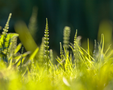 maladroit: La pr�le des champs (Equisetum arvense) peut �tre un parasite g�nant dans le Jardin de fleurs Banque d'images