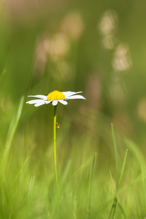 widespread: Oxeye Daisy is a widespread flowering plant native to Europe and the temperate regions of Asia