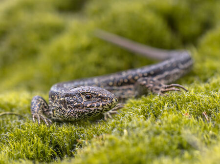 lacerta: Sand Lizard (Lacerta agilis) in Natural Habitat on Green Moss
