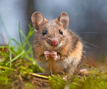 wood grass: Cute wood mouse sitting on hind legs