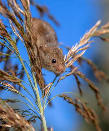 cane plumes: Harvesting Mouse climbing in Reed, its natural habitat