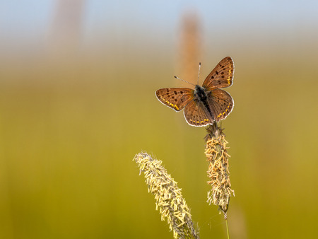 Sooty Copper  Lycaena tityrus  Resting on Grass Ear in the Sun photo